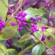 Buy Callicarpa bodinieri Giraldii 'Profusion' (Beauty Berry) online from Jacksons Nurseries Soil Ph, Low Maintenance Plants, Perfect Plants, Mediterranean Garden, Types Of Soil, Winter Garden, Colorful Flowers, Garden Plants, Shrubs