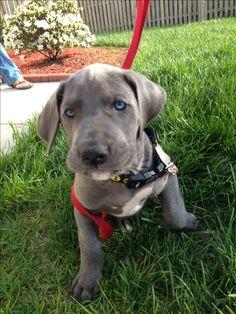 Blue Great Dane puppy ugh I want one so bad husband says no  :-( one day tho!!