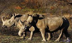 تراجع صيد وحيد القرن في جنوب أفريقيا…: تراجع عدد حيوانات وحيد القرن التي يجري اصطيادها من أجل قرونها في جنوب أفريقيا عشرة في المئة في 2016…