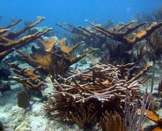 Save Elkhorn and Staghorn Corals-  Reversing the trend of carbon build up is necessary to slow coral bleaching. #NMFS's plan has merits because it sets helpful criteria for #oceanwarming and #acidification.