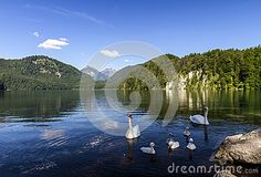 Alpsee Lake and Swans family in Fussen.