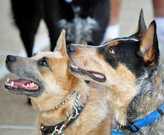 Australian Cattle Dog, Also Known as the Blue Heeler and Red Heeler