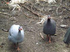 Grown up guineas. Guinea fowl as guard birds