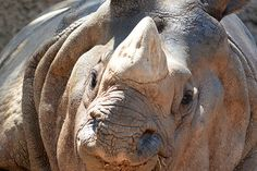 White rhinos have a hump of muscle on their necks and shoulders to hold up a head that can weigh 800 to 1,000 lbs.