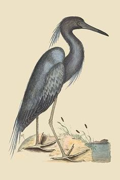 Blue Heron. High quality vintage art reproduction by Buyenlarge. One of many rare and wonderful images brought forward in time. I hope they bring you pleasure each and every time you look at them.