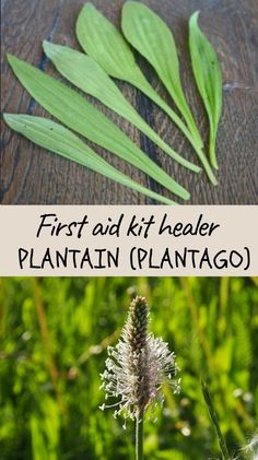A fast healer and simple to use, plantain is a handy first aid kit that can ease pain and absorb discomfort. One single leaf can heal and ease the pain from a small wound, bruise or blister. Its juice can stop a nose bleed or eases an earache. These are just a few examples of what the humble plantain is capable of. Herbs For Health, Health Tips, Banana Fruit, Relaxation Techniques, Natural Parenting, Runny Nose, Natural Lifestyle, Healthy Diet Plans, First Aid Kit