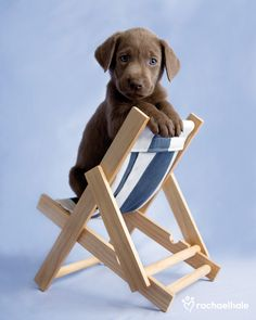 Barlow (Silver Labrador) - How cute can it be, a pup with own chair for sitting by the sea...never heard of a silver lab but this puppy sure is cute.