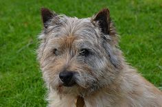 cairn terrier cairn terriers