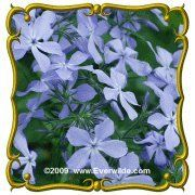 Wild Blue Phlox (Phlox divaricata) Jumbo Wildflower Seed Packet (30) by Everwilde Farms Inc.. $2.75. The bluest of the phlox species, the woodland variety's blooms are most commonly found in shady, well-drained areas of the forest. Intensely sweet smelling, they can fill a whole room with their fragrance. Reminding some of lilac's, this is one of their most loved features. Intensely blue, these five-petaled blooms are especially loved by the long-tonged bees and butt...