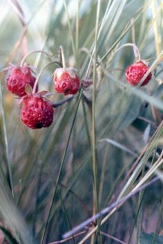 Mn early 1980 s such a great patch of wild strawberries probably no