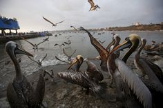 Pelicans wait for food at a market at Pescadores beach in the Chorrillos district of Lima, Peru.