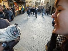 11 year old pug named Spike in Florence, Italy. Living the life. Too fat to walk.