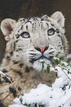 wearevanity:   Young Snow Leopard ©