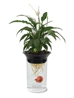 Grow Plants Water Garden Penn-Plax Aquaponic Betta Tank With Fish Tank Aquarium for sale online Betta Aquarium, Fish Aquariums, Aquarium Kit, Aqua Aquarium, Glass Aquarium, Aquarium Supplies, Betta Tank, Aquaponics System, Hydroponic Gardening