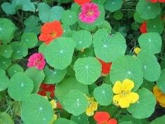Nasturtiums are a fantastic, rambling, vining groundcover that come in a multitude of flower colors. The leaves are edible and are commonly used in salads. by sarahx