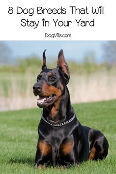 Looking for dog breeds that will stay in your yard? We've got you covered! These 8 breeds are content to hang out close to home and won't bolt on you. Dog Breeds List, Rare Dog Breeds, Cute Dogs Breeds, Best Small Dogs, Large Dogs, Pet Ducks, Unique Dog Breeds, Doberman Dogs, The Perfect Dog