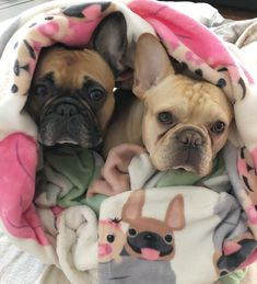 """Gefällt 975 Mal, 15 Kommentare - Jax & Opie the French Bulldogs (@jax_thefrenchie_) auf Instagram: """"Doubling up in our favorite blankies for warmth. ❤️ It's another frigid day here in Rhode Island!…"""""""