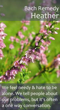 Bach Flower Remedy - Heather - Also a good one for those who are in the habit talking about their problems so much, that molehills become mountains!