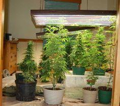 1 Pound 16 Oz Outdoor Marijuana Plant Just Before Harvest