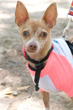 Meet Frick, an adoptable Chihuahua looking for a forever home. If you're looking for a new pet to adopt or want information on how to get involved with adoptable pets, Petfinder.com is a great resource.