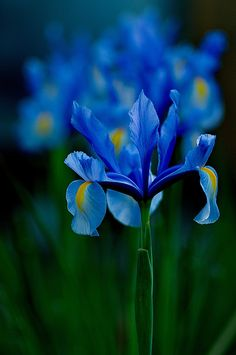 Blue iris - this was my mother's favorite flower.  I remember as a child seeing my mother's love whenever she looked at these beautiful flowers in her garden.  Watching her made me smile!