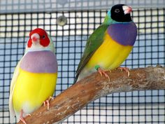 I love Lady Gouldian finches