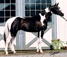 Pinto American Warmblood (love those uncommonly colored warmbloods)