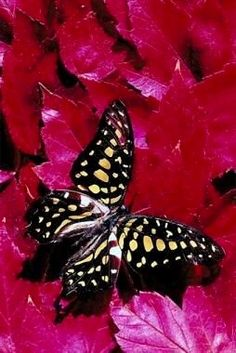 Very interesting post: Butterfly Pictures - 50 Pics.сom lot of interesting things on Funny Animals. Float Like A Butterfly, Butterfly Effect, Butterfly Kisses, Butterfly Flowers, Butterfly Wings, Beautiful Butterfly Pictures, Beautiful Bugs, Beautiful Butterflies, Flying Flowers