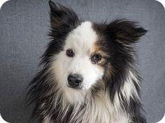Colorado Springs, CO - Australian Shepherd. Meet Boris, a dog for adoption. http://www.adoptapet.com/pet/15248386-colorado-springs-colorado-australian-shepherd