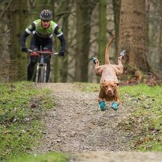 This vizsla is happy Animals And Pets, Funny Animals, Cute Animals, Funny Dogs, Cute Dogs, Vizsla Funny, Foto Picture, Hungarian Vizsla, Hiking Dogs