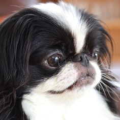 my names Muffin - I'm a Japanese Chin