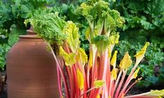 Alys Fowler: top tips for growing rhubarb   Life and style   The Guardian