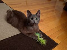 Female, 5 months old beautiful playful kittie MAX is available for adoption with the help of C4P #Montreal <3 www.facebook.com/cause4paw