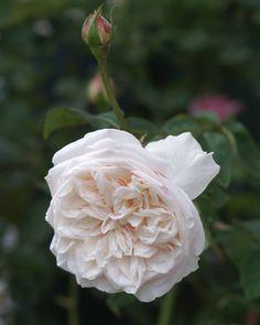 'Souvenir de la Malmaison' in full bloom this morning. #rose #roses #antiqueroses #rosegarden #garden #mygarden #myrosegarden