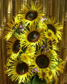 Sunflower Seeds - STELLA GOLD - Helianthus Annuus - UNIQUE BLOOMS -10 Seeds #theseedhouse Mata Hari, Sunflower Seeds, Sunflowers, Garden Plants, Planting Flowers, Bloom, Gardening, Hand Painted, Clothing