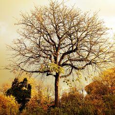 Same chestnut tree