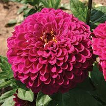 """Tudor Zinnia- A knockout color in the flower border, and you'll love how easy they grow. The 3 1/2 inch blooms are held on long stems, so they show off in the flower border and make lovely bouquets, too. In fact, the more you cut them, the more flowers they produce. Excellent heat tolerance keeps them blooming all summer. Plant in full sun. Height 30"""" to 36""""."""