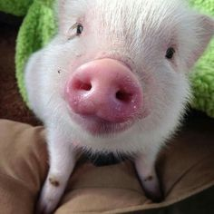 Pink nosed pink piggly!