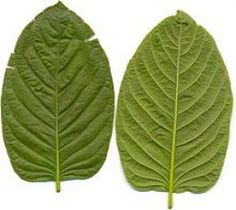 Kratom: Nature's Pain Reliever - You can find all your smoking accessories right here on Santa Monica #Kratom #Teagardins #SmokeShop