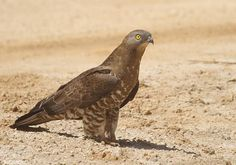 Western Honey-buzzard (Pernis apivorus) standing