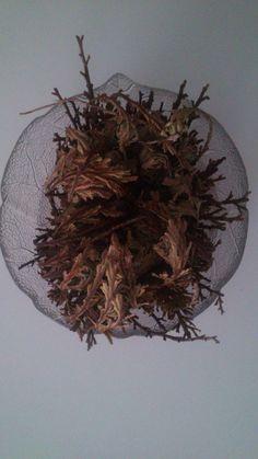 Rosa de Jericó.- Seca http://www.elangreen.com/producto.php?codigo=rosa-jerico-072301