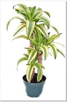 Dracaena fragrans 'Lindenii Corn Plant'