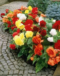 Begonia Double Mix Flower Seeds (Begonia Tuberosa Double Mix) - Under The Sun Seeds - 3 Tuberous Begonia, Shade Flowers, Bulb Flowers, Shade Plants, Summer Flowers, Colorful Flowers, Beautiful Flowers, Large Flowers, Gardens