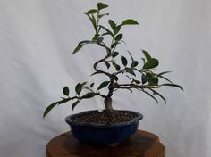 Check out this item in my Etsy shop https://www.etsy.com/listing/515856649/bonsai-fig-tree-ficus-microcarpa-mini