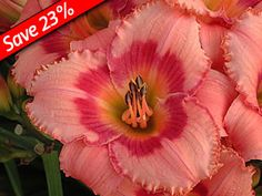Daylily Strawberry Candy - Reblooming Daylily for 3 months of color! Bicolored Daylilies thrive with Sedums, Gaillardias, & Perovskia.