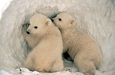 What's the best time to visit Churchill Manitoba for Hudson Bay polar bears and beluga whales? I'm traveling to the Arctic frontier, virtually. Polar Animals, Baby Animals, Cute Animals, Baby Polar Bears, Cute Polar Bear, Teddy Bears, Samoyed, Polo Sul, Bear Cubs