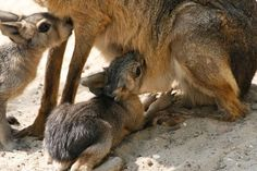 Maras (Dolichotis patagonum).  Patagonian mara (Dolichotis patagonum), is a relatively large rodent in the mara genus (Dolichotis). It is also known as the Patagonian cavy, Patagonian hare or dillaby. Looks midway between a Prairie dog and a rabbit !!!