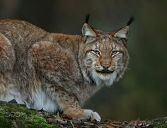 Luchs Portrait by loramulle #animals #animal #pet #pets #animales #animallovers #photooftheday #amazing #picoftheday