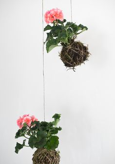 DIY Kokedama String Gardens | Martha Stewart - Transform ordinary houseplants into adorable self-contained arrangements called Kokedama. These versatile arrangements can be suspended, displayed in a dish, or used in terrariums! #airplants #terrariums #gardening
