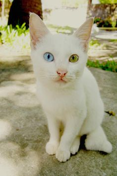Cute white kitten -2
